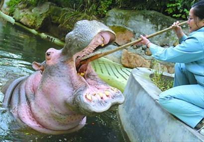 上海动物园的河马们即将从室外展区搬到