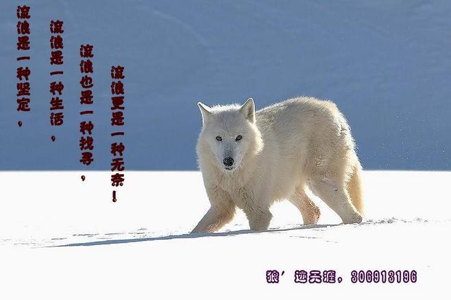 狼壁纸桌面,群狼壁纸,狼壁纸,孤狼啸月高清壁纸桌面 高清图片