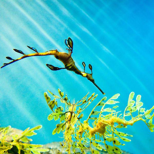 可爱的海洋生物——海龙〖37阁